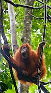 A Sumatran orangutan yawns, as if bored, perched amongst lianas in Gunung Leuser National Park.