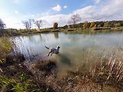 """English Setter Welpe """"Rudy"""" springt am 14.10. 2017 in den Teich von Stara Lysa, (Tschechische Republik).  Rudy wurde Anfang Januar 2017 geboren und ist vor einiger Zeit zu seiner neuen Familie umgezogen."""