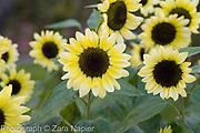 Helianthus annuus 'Valentine' - Sunflower, September