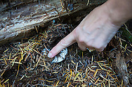 MUSHROOMS: Collecting Wild Mushrooms In Oregon.  Mushroom Forager Debby Accuardi collecting Oregon White Chanterelle Mushrooms in an undisclosed location in the Cascade Range. Debby determing the species of a mushroom similar to the white chanterelle.