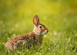 what's up doc - a bunny in a field of green grass with spring bokeh