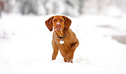 SHOT 4/11/05 5:27:24 AM - Tanner, a one year-old male Vizsla, plays in the snow during an unexpected spring blizzard in Denver, Co. The Vizsla is a dog breed originating in Hungary, which belongs under the FCI group 7. The Hungarian or Magyar Vizsla are sporting dogs and loyal companions, in addition to being the smallest of the all-round pointer-retriever breeds. (Photo by Marc Piscotty / © 2005)