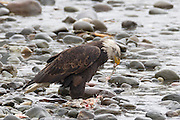 A bald eagle (Haliaeetus leucocephalus) feeds on a spawned out salmon in the Nooksack River in the North Cascades of Washington state.