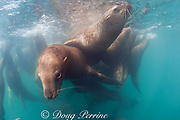 Steller's sea lions, or Steller sea lion, or northern sea lion, Eumetopias jubatus, rafting together at the surface; (an Endangered Species in the western part of its range, and Threatened in the eastern portion), Glacier Island, Columbia Bay, Alaska ( Prince William Sound )