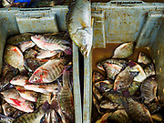 19 JULY 2018 - BANGKOK, THAILAND: Fish in bins in the Saphan Pla Fish Market in Bangkok. Fish consumption recently hit a record high according to a report published recently by the United Nations Food and Agriculture Organization. The FAO reported that global fish production peaked at about 171 million tonnes in 2016, 47 percent of it from fish farming. The FAO also reported that global fish consumption between 1961 and 2016 was rose nearly twice as fast as population growth. In 2015, fish accounted for about 17 percent of the animal protein consumed globally. This has ramifications for Thailand, which has one of the world's largest fish and seafood industries. About 90% of Thailand's seafood production is exported, which accounts for about 4% of Thailand's exports.       PHOTO BY JACK KURTZ