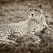 """""""Ndutu Cheetah""""                                             Tanzania<br />  In the early moments before the sun rose,  we came across a group of cheetahs. High on the hillside waiting for the warming rays of the sun, they watched for the passing herds that are so essential for life."""
