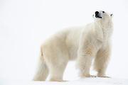 Portrait of a polar bear (Ursus maritimus) standing in the snow, Spitsbergen, Northwest Coast of the Svalbard Archipelago, Norway
