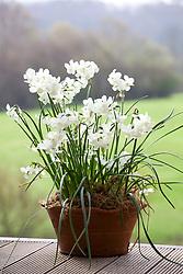 Narcissus triandus 'Petrel' in a terracotta pot