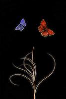 European Feather grass, Stipa pennata (= S. joannis), with Escher's Blue butterfly, Polyommatus escheri, and Niobe Fritillary, Argynnis niobe var. eris. <br /> Stenje region Lake Macro Prespa, 1300m elevation. <br /> Galicica National Park, Macedonia, June 2009<br /> Mission: Macedonia, Lake Macro Prespa /  Lake Ohrid, Transnational Park<br /> David Maitland / Wild Wonders of Europe
