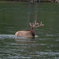 A Bull Elk (Cervus canadensis) wades across the Yellowstone River in Yellowstone National Park.