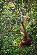 Central Kalimantan, Indonesia - March 6, 2017: An orangutan sits in lush vegetation at Tanjung Harapan, a ranger station located inside Tanjung Puting National Park on the island of Borneo in Central Kalimantan, Indonesia.