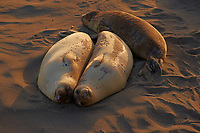 Elephant Seals at Piedras Blancas Beach, Central California Coast. Image taken with a Nikon D3x and 70-300 mm VR lens (ISO 400, 180 mm, f/8, 1/200 sec).