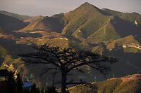 Pine trees, Pinus Hwangshanensis, at the Taoist Tian Feng Ling Temple, Beiyue Hengshan Mountain, Datong, Hunyuan County, Shanxi Province, China