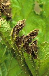 Frost damage on a gunnera leaf
