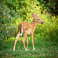 Blue Eyed Fawn. Backyard Nature in New Jersey. Image taken with a Nikon D3x and 600 mm f/4 lens (ISO 400, 600 mm, f/4, 1/400 sec). Image processed with Capture One 6 Pro, Nik Define 2, and Photoshop CS5.