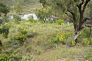 Landscape view with Gum Rockrose, Cistus ladanifer, Castro Verde, Algarve, Portugal, The whole plant is covered with the sticky exudate of fragrant resin, the source of labdanum, used in herbal medicine and perfumery