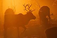 Reindeer, Rangifer tarandus, Reindeer herding in the Saarivuoma Sami community, at at Järämä, Övre Soppero, Lapland, Laponia, Norrbotten county, Sweden