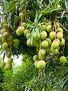Mango, Atuona, Hiva Oa, Marquesas, French Polynesia, South Pacific
