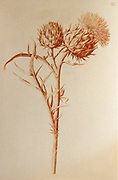 Cardoon (Cynara cardunculus), also called the artichoke thistle, Red chalk on paper by Nicolas Robert from Sketchbook A at the Jardin Du Roi, Paris c 1650