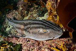 Poroderma africanum, Pyjama Katzenhai oder Gestreifter Katzenhai, Ein endemischer Katzenhai, Striped Cat shark or Pyjama shark, endenic shark, Suedafrika,  Simons Town, False Bay, South Afrika