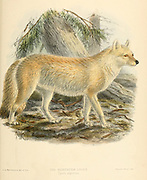 "The Tian Shan dhole (Cuon alpinus hesperius [Cyon alpinus]), also known as the Siberian dhole, western Asiatic dhole, or northern dhole is a subspecies of dhole native to the Altai and Tian Shan mountain ranges, and possibly Pamir and Kashmir. From the Book Dogs, Jackals, Wolves and Foxes A Monograph of The Canidae [from Latin, canis, ""dog"") is a biological family of dog-like carnivorans. A member of this family is called a canid] By George Mivart, F.R.S. with woodcuts and 45 coloured plates drawn from nature by J. G. Keulemans and Hand-Coloured. Published by R. H. Porter, London, 1890"