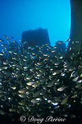 glassy sweepers or copper sweepers, Pempheris schomburgkii, on wreck of the Orion, Miami, Florida ( Western Atlantic Ocean )