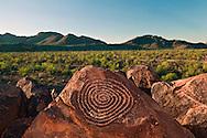 Spiral Petroglyph is on Signal Hill, Hohokam Art, Saguaro cactus,  Saguaro National Park, Arizona, USA (Carnegiea gigantea)