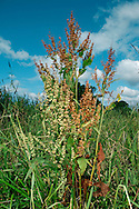 WATER DOCK Rumex hydrolapathum (Polygonaceae) Height to 2m. Large, unbranched perennial, associated with damp habitats such as ditches, river banks, canals and marshes. FLOWERS are borne in tall, dense spikes (Jul-Sep). FRUITS are triangular, with few small teeth and 3 tubercles. LEAVES are oval, up to 1m long and taper at base. STATUS-Widespread but absent from N; commonest in S and E England.