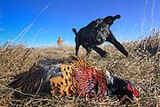 Black Labrador Retriever pup fetching rooster pheasant.