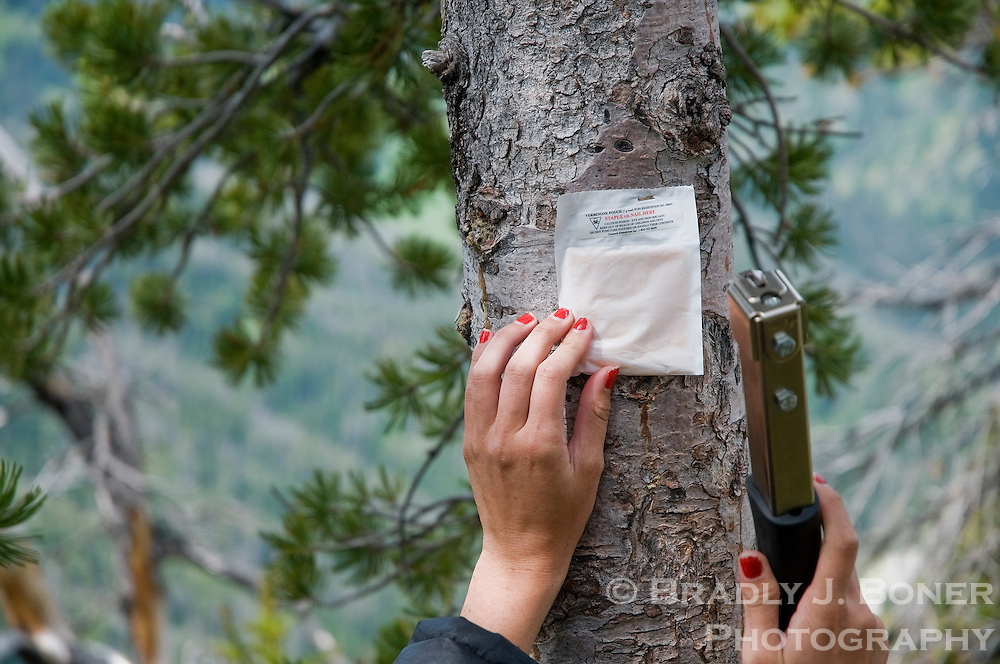 Gabriela Luis attaches a verbenone pouch to a whitebark pine tree Saturday morning on the south slope of Mt. Glory. The verbenone chemical is produced by pine beetles when an infected tree is full of beetles, thereby telling other beetles to move on. Researchers hope the verbenone pouches will fool beetles into thinking trees are already full of insects.