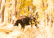 Bull Moose Moving Through Forest Amid Fall Color
