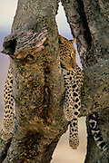 Leopard in tree resting, but alert. Blurred background.