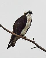 Osprey (Pandion haliaetus). Images taken with a Nikon N1V3 camera and 70-300 mm VR lens.