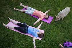 Michael Niemi, top, and Paradox Delilah participate in a yoga session with pigs during a charity fundraiser at The Happy Herd Farm Sanctuary, in Aldergrove, BC, Canada on Sunday June 24, 2018. The not for profit sanctuary held three yoga classes with four pigs on Sunday to raise money to help cover veterinarian costs. The pigs were born at the sanctuary when one of two neglected pot-bellied pigs seized by the SPCA unexpectedly gave birth to a litter of five after being taken in. Photo by Darryl Dyck/CP/ABACAPRESS.COM