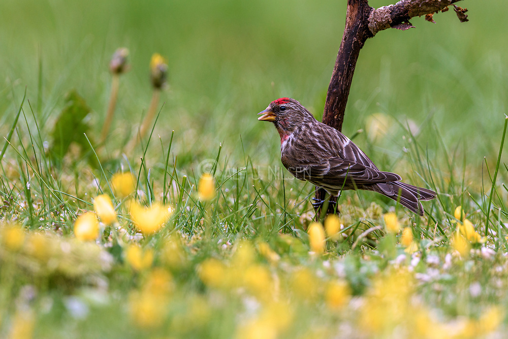 Common Redpoll (Carduelis flammea) from Hidra, south-western Norway in May.