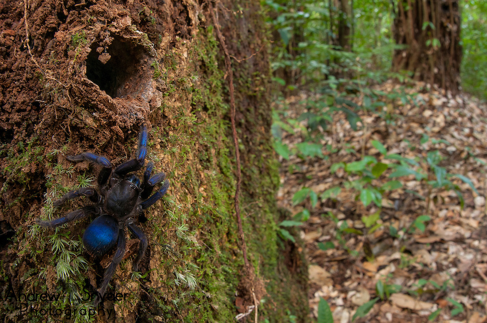 A new species of tarantula awaiting description. An undescribed tarantula (Subfamily Ischnocolinae) from Guyana next to its hole in a rotten tree stump.