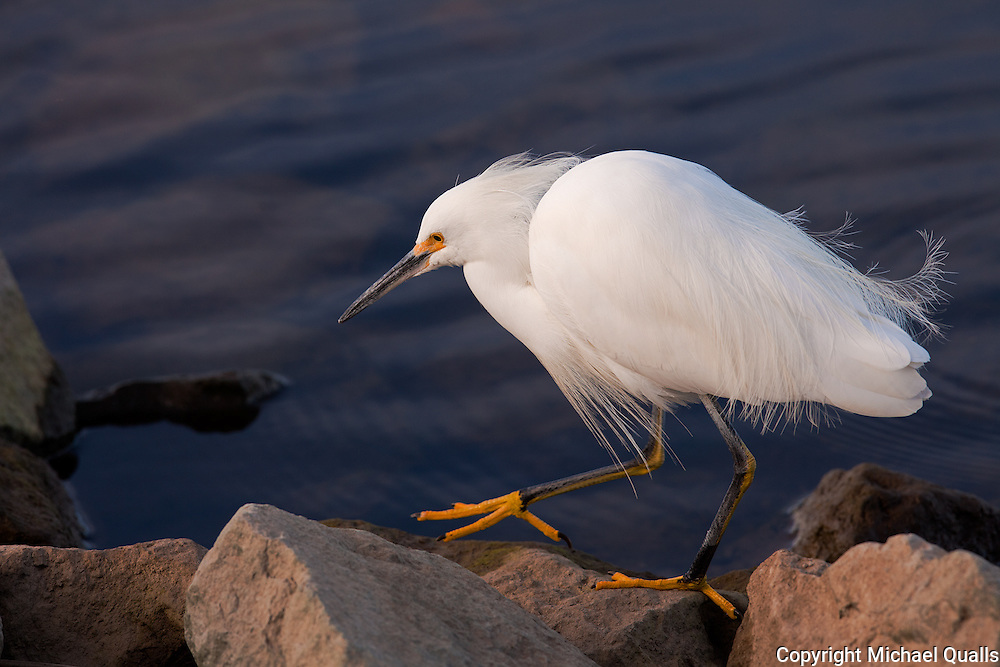 A Snowy Egret in the golden light of morning prowling the shore after the lake (Lake Murray) has risen 6 feet - this after the last rain.