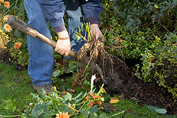 Lifting dahlias from a border in autumn - digging up tuber