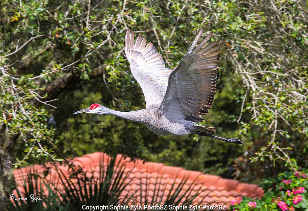 Sandhill Crane passing by