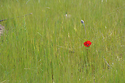 Red Poppy in green field