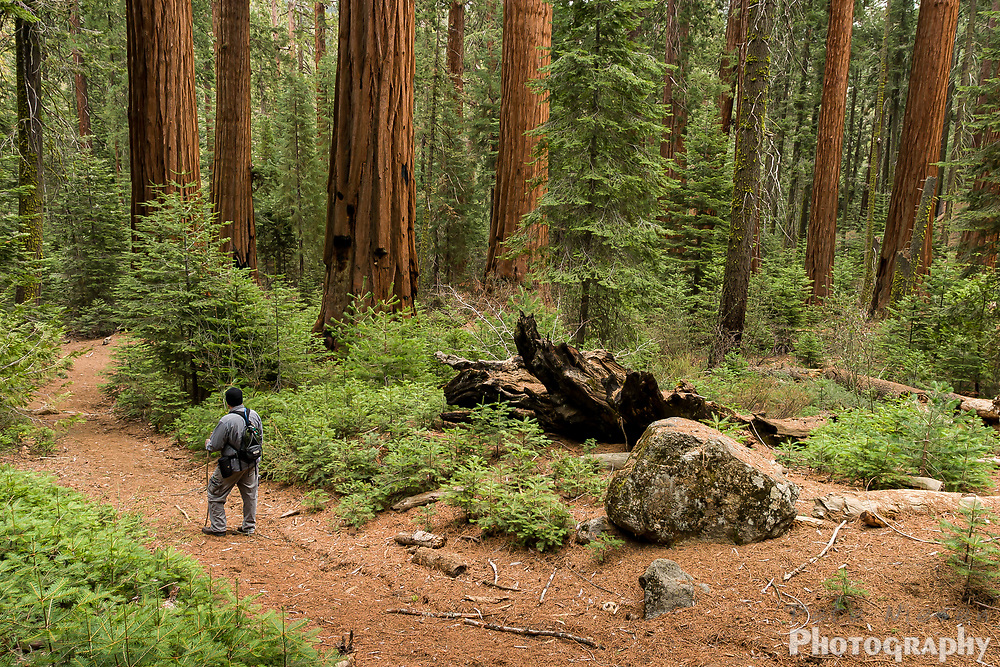 Hiker pauses on trail through lush green and reds of a giant sequoia tree grove, Sequoia National Park