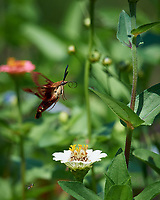Hummingbird Clearwing Moth (Hemaris thysbe) in Flight. Image taken with a Nikon D5 camera and 200-500 mm f/5.6 VR lens