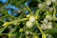 MISTLETOE Viscum album (Viscaceae)  D to 1m<br /> Woody, evergreen parasite with evenly forked branches. It forms large, spherical clumps among branches of host trees, mainly apple (often in cultivation), lime and poplars. FLOWERS are inconspicuous (Feb-Apr). FRUITS are white and sticky. LEAVES are oval, yellowish green and borne in opposite pairs. STATUS-Widespread but local.