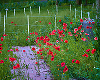 Red Poppies. Image taken with a Leica TL-2 camera and 55-135 mm lens