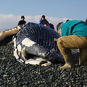 Researcher photographing tubercles on head of humpback whale calf (Megaptera novaeangliae) that washed ashore on 3 January 2012 in Odawara, Japan. Measured 6.87 meters long and was male. Cause of death unknown. This humpback whale calf is the third smallest one recorded to date that has stranded or washed ashore in Japan. It is the third deceased calf to have been found in the 2011-2012 breeding and calving season. Members of the science community recording measurements for Japan's cetacean stranding database.