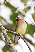 A Cedar Waxwing (Bombycilla cedrorum) stretches on its perch in a tree on Smith Island, Everett, Washington.