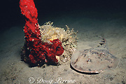 lesser electric ray, Narcine brasiliensis, Commonwealth of Dominica ( Eastern Caribbean Sea )