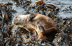 This young otter has no problems with his fishign quota as he has a snooze after fishing for his lunch in oban bay.  Those folks out for a walk to gananvan beach oban stop for a moment to watch the youngster who has not fear of humans or dogs picture kevin mcglynn