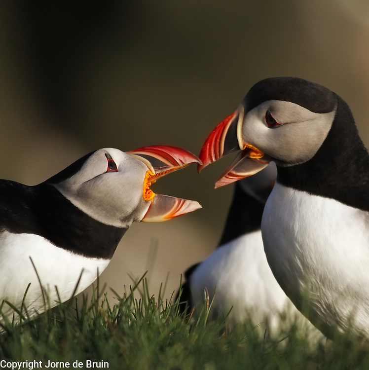 Two Atlantic Puffins are having a quarrel with each other on the cliffs of Latrabjarg in the west of Iceland.