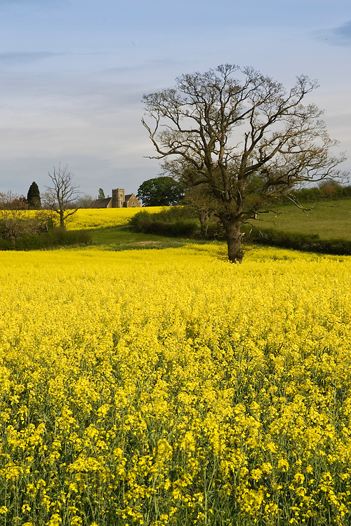 Rape seed crop field in Wyck Rissington and St Peter's Church, Little Rissington, The Cotswolds, Gloucestershire, England